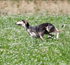 Saluki_7_July_Run2_Test_Dog_4172CCR
