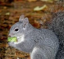 111704 Gray Squirrel 37