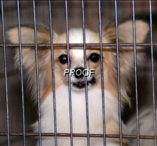 caged Papillon