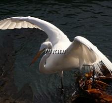 Egret on kelp