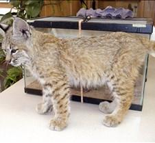 090402 Bobcat Kitten 82