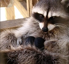 091102 Raccoon Ruby 57