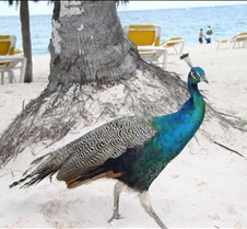 Peacocks on the beach