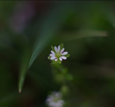Tiny white flower in back yard