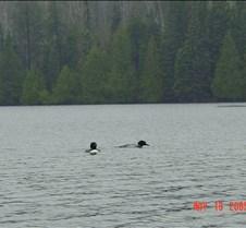1.Loons in Sawbill lake