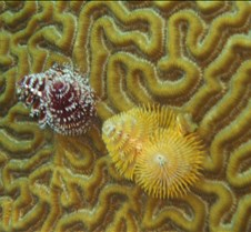 A close up of the Christmas Tree Worms