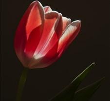 04%2D04%2D2016+Tulips