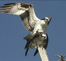 Osprey Mating 3