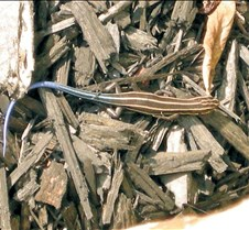 five-lined skink youth