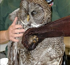102304 Great Gray Owl 126
