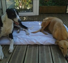 2014_07_09 - Floyd After the sad loss of Murphy another greyhound at the Young household in Barry was called for as Amber was pinning terribly