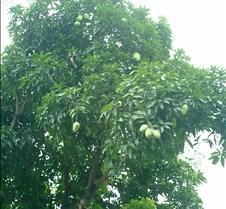022 mango tree
