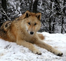 010204 Wolves Spirit 66