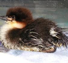 042304 Merganser chick 83