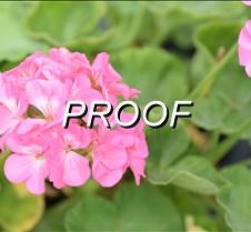 Geranium pink2