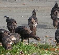 2005+November+Turkeys