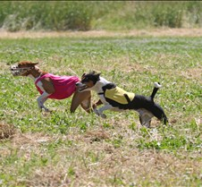 Basenjis_8Jul_Run1_Course2_0404CCR2