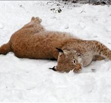 010204 Eurasian Lynx Nikki  118