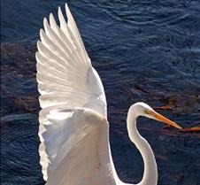 Egret wing span