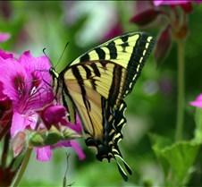 butterfly25