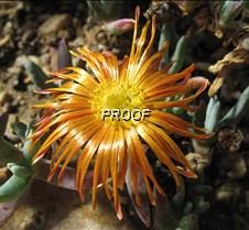 Golden Cactus Flower