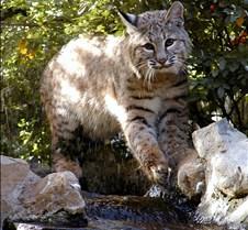 102403 Bobcat Rufus 247