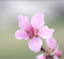 Peach Tree 12