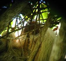 MA_3toed_sloth