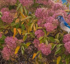 10%2D16%2D2016+Blue+Bird+in+Pink+Bush