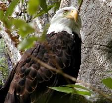 090303 Bald Eagle 34m