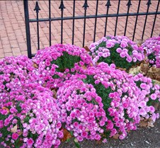 mums_by_fence