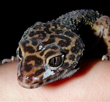 110604 Gecko 03