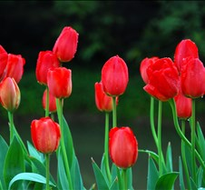 Tulips flower Beautiful tulips in garden.