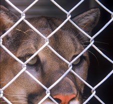 Cougar in a Cage
