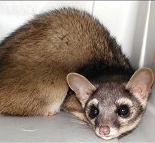 122904 Ring Tailed Cat 95