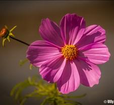 7%2D12%2D2016+Pink+Flower