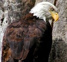 090303 Bald Eagle 43