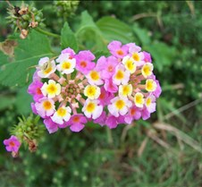 Lantana with spider