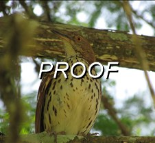 Brown Thrasher_ tree
