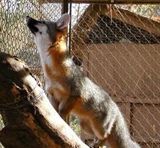 112004 gray fox carson 62