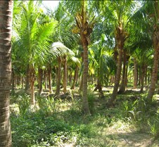 Pine Island palm tree farm