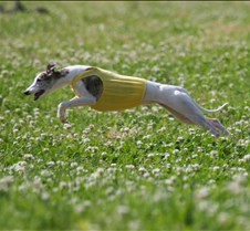 Whippets_7July_Run2_4602CR