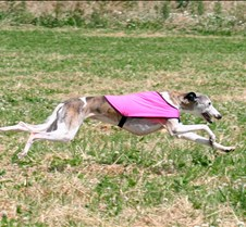 Whippets_8July_Run2_Course6_5061CR