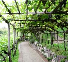grapevine pathway