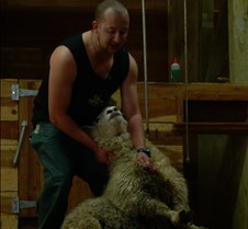 Wrestling down the Sheep