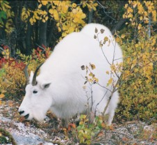 Alpine Angels Yukon Mountain Goats