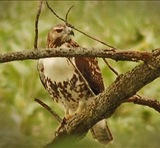 Red-tail_Hawk_juvenile_close_up