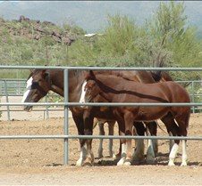 Tucson Lazy K Percheron foal 2