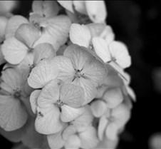 flowerblackandwhite2
