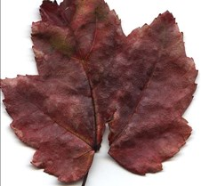 Cheryl's Leaf Scans